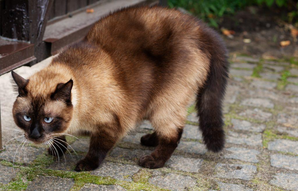 movimientos de la cola de los gatos