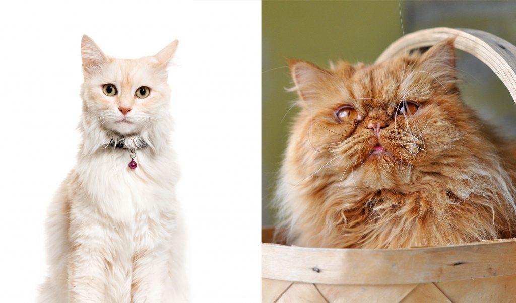 Diferencias entre el gato de Angora y el gato Persa
