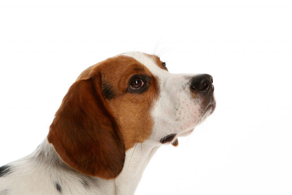 qué es la foliculitis en perros