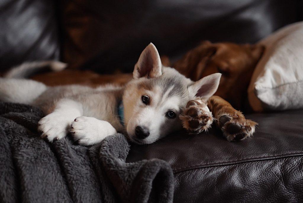 soluciones a la foliculitis en perros