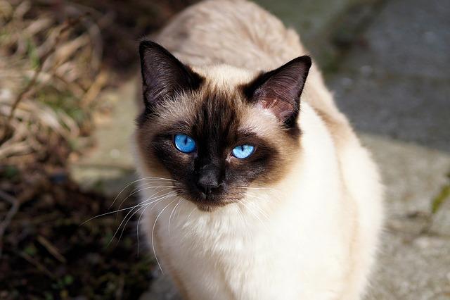 curiosidades del gato siamés apreciado por la realeza