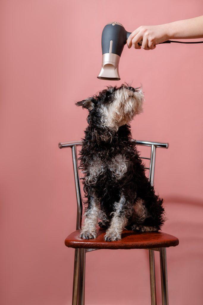 acostumbra a tu perro al secador antes de usarlo con él