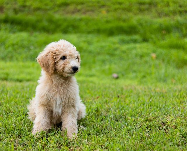 carácter de los perros Goldendoodle