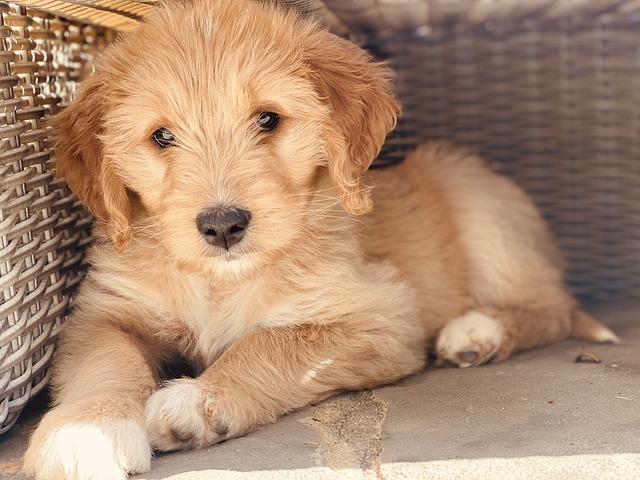 características físicas de los perros Goldendoodle