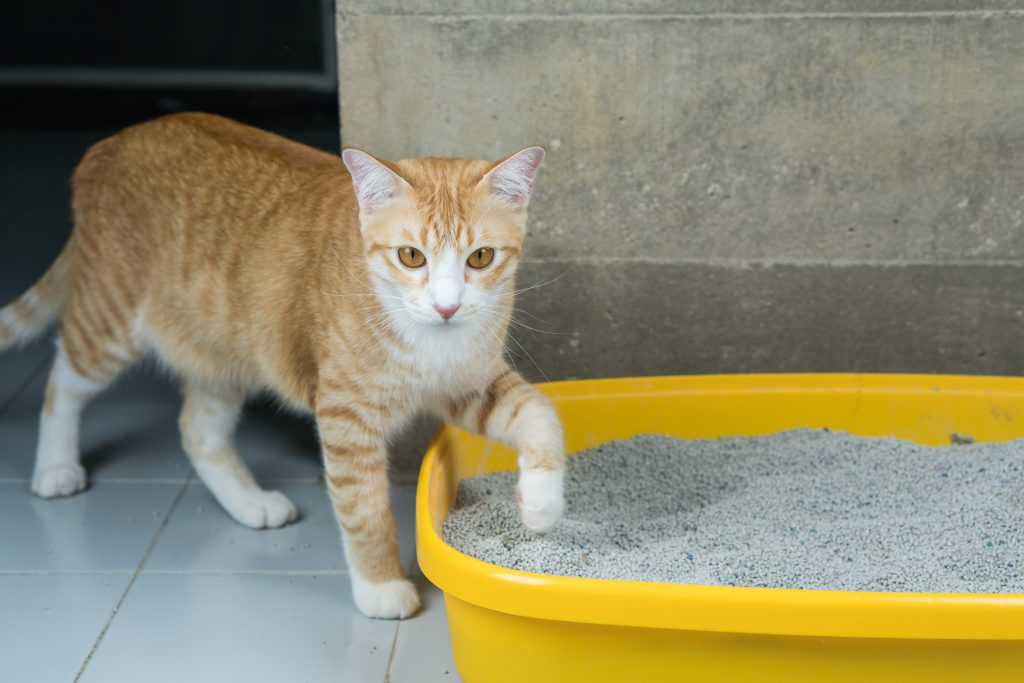 causas por las que mi gato se come la arena de su bandeja