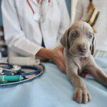 cómo evitar la diabetes en perros