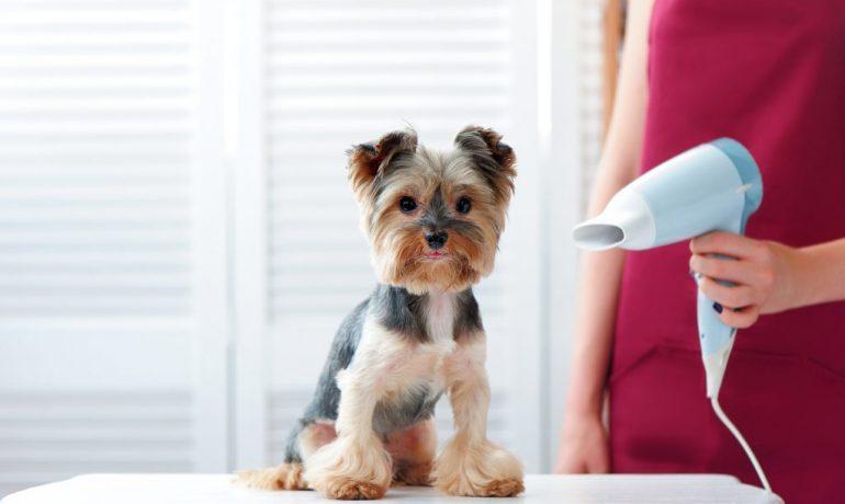 Cómo usar el secador de pelo con el perro