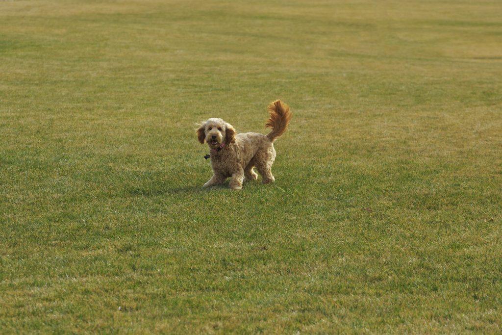 cuidados de los perros Goldendoodle