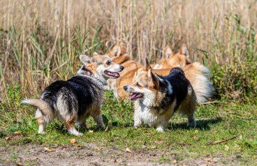 los perros de patas cortas más conocidos