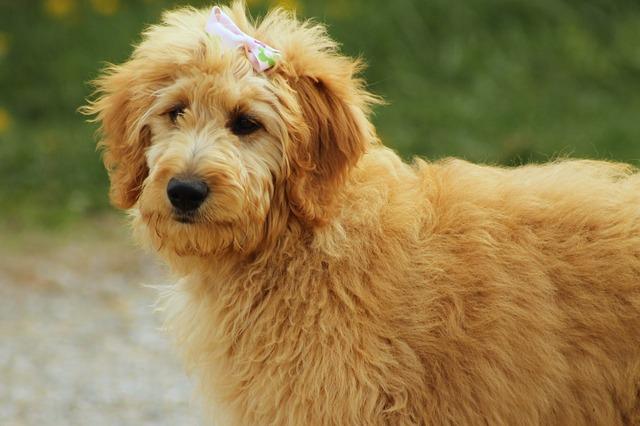 los perros Goldendoodle