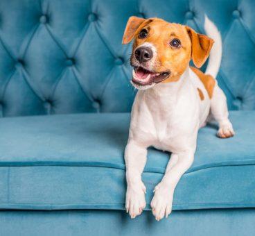 mi perro se restriega por el sofá