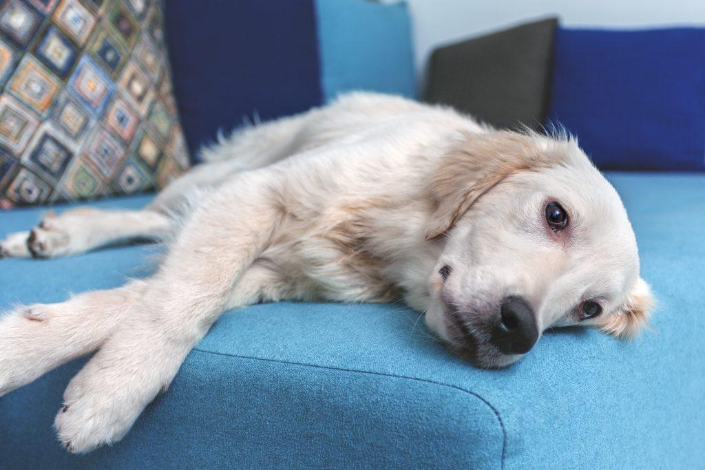mi perro se restriega por el sofá porque le pica el cuerpo