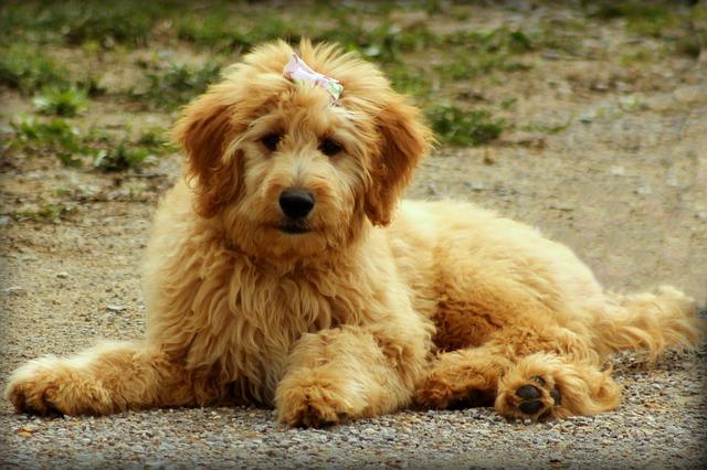 Origen de los perros Goldendoodle