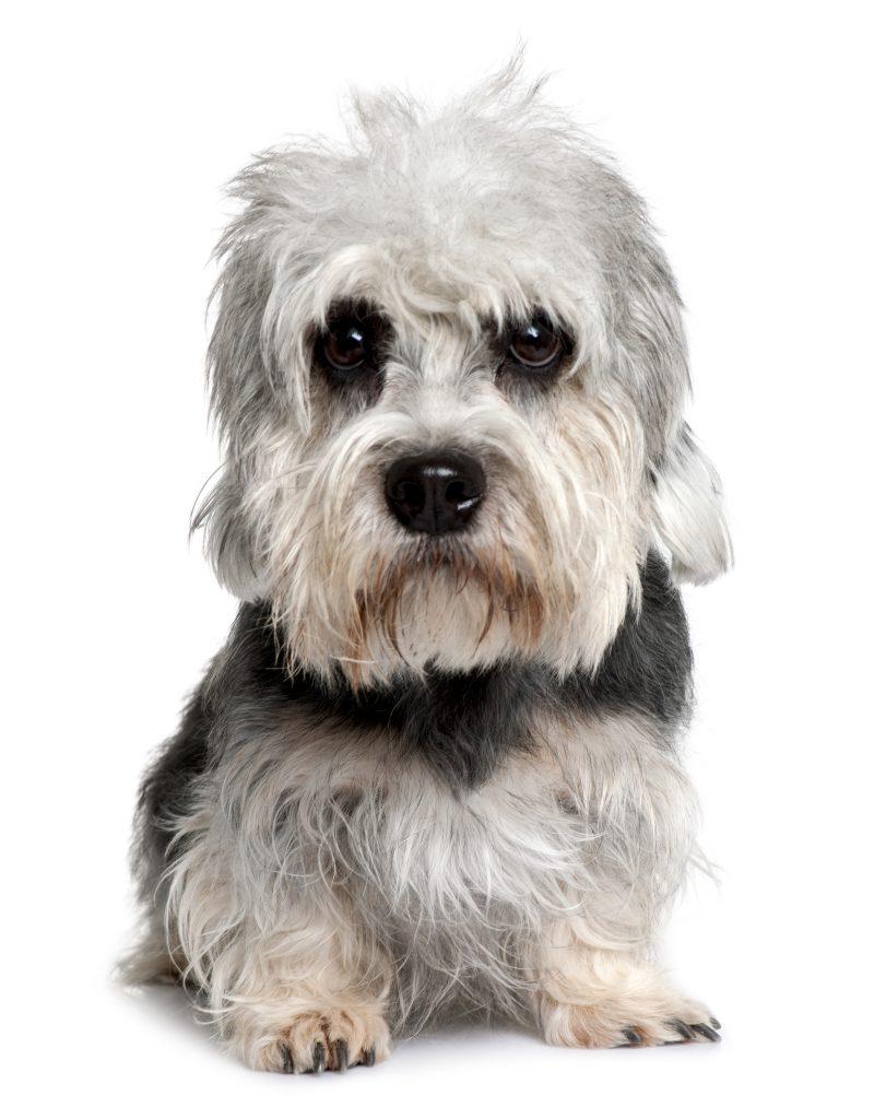 Perros de patas cortas Dandie Dinmont terrier