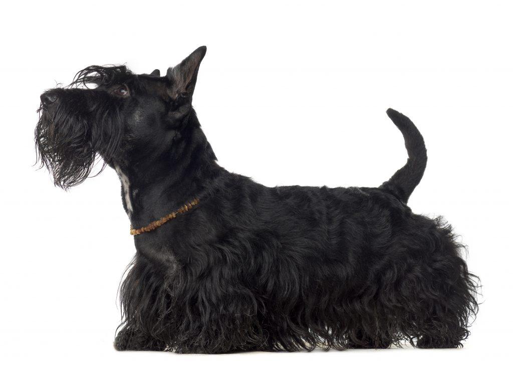Perros de patas cortas Scottish terrier