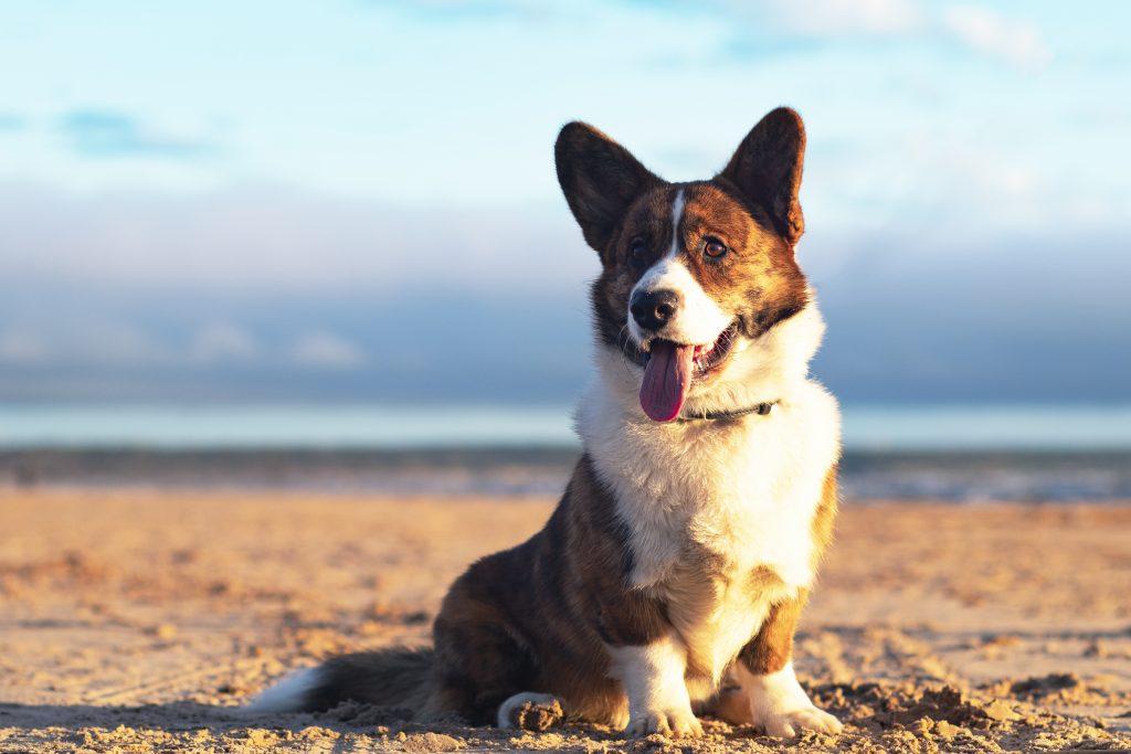 Perros de patas cortas Welsh Corgi Cardigan