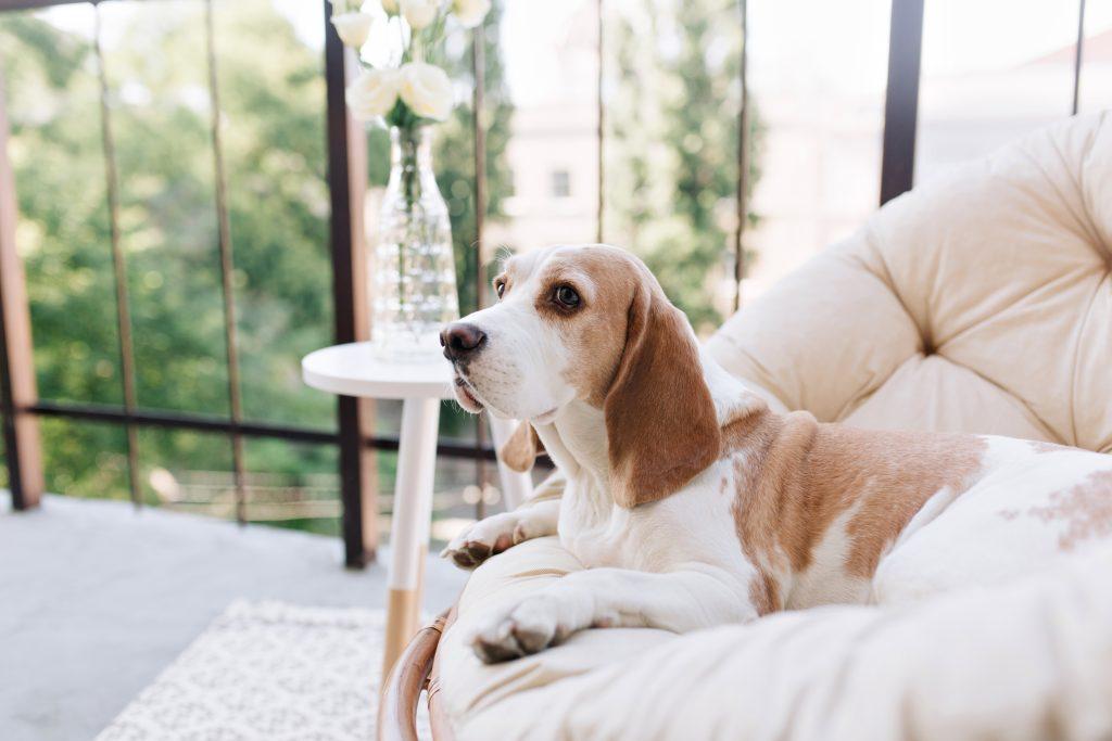 por qué mi perro se restriega por el sofá