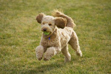 raza de perros goldendoodle