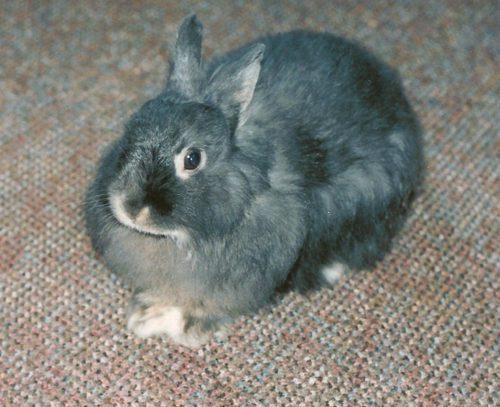 conejo jersey wooly o lanoso de Jersey o conejo lanudo de Jersey