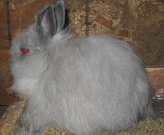 Conejo lanoso de Jersey o conejo Jersey wooly