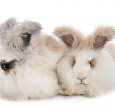 cuidados del conejo de Angora más importantes