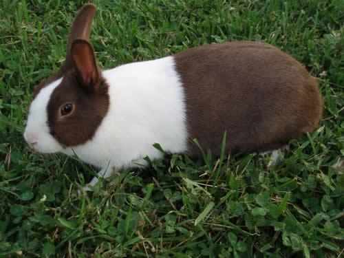 cuidados del conejo holandés