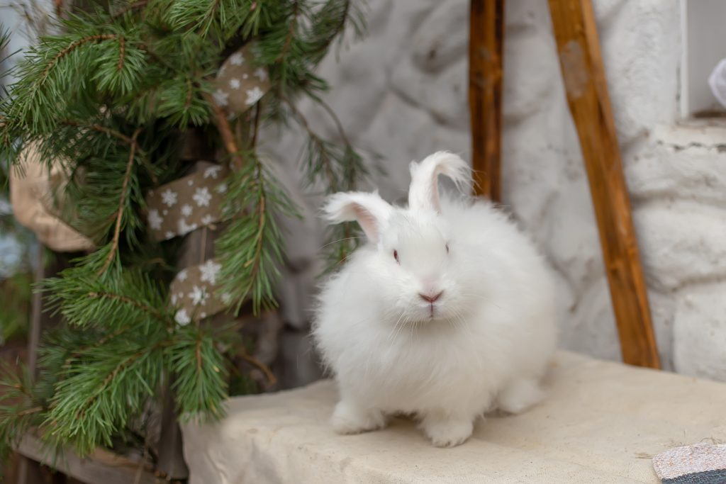 cuidados importantes del conejo de Angora
