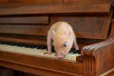 curiosidades del mini cerdo