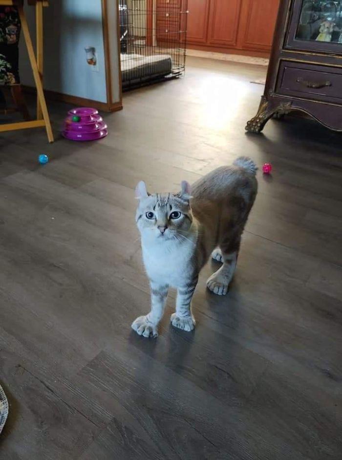 gato con patas grandes y mas dedos rickmcflick