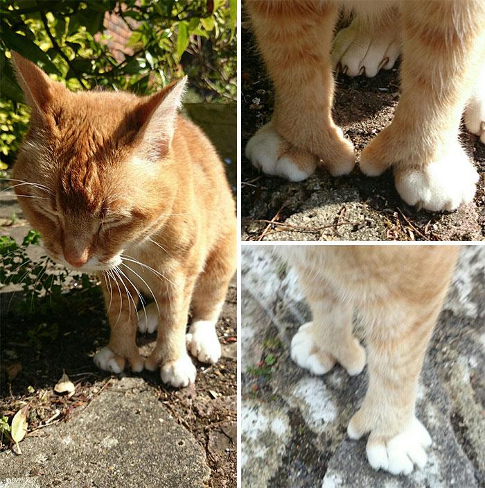 gato con pulgar oponible