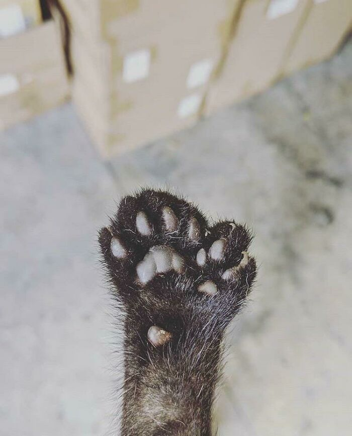 gato doble pata pulgar