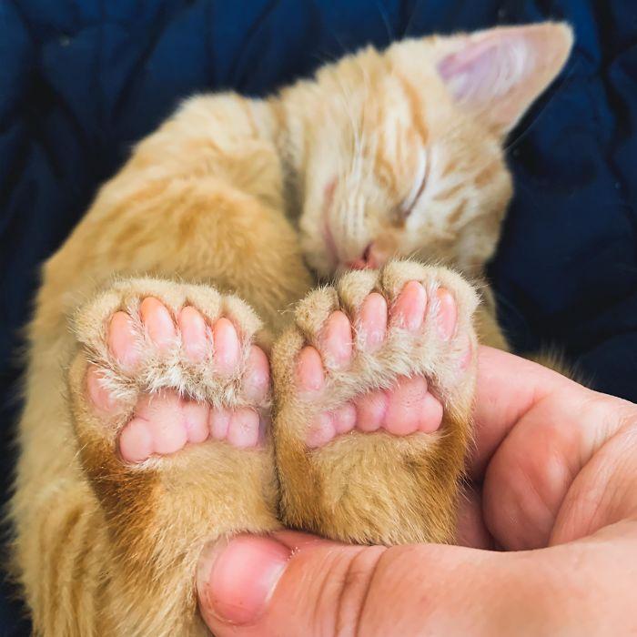 gato polidactilo aliendiaperbaby
