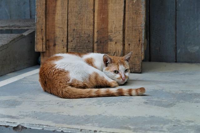 las lesiones en la cola del gato deben ser tratadas