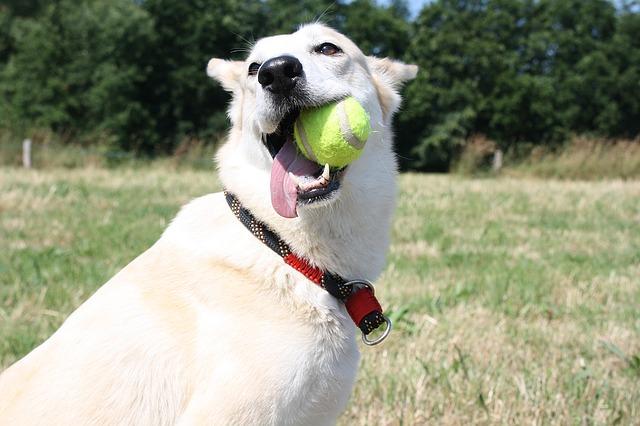 las pelotas de tenis dañan la salud de los perros