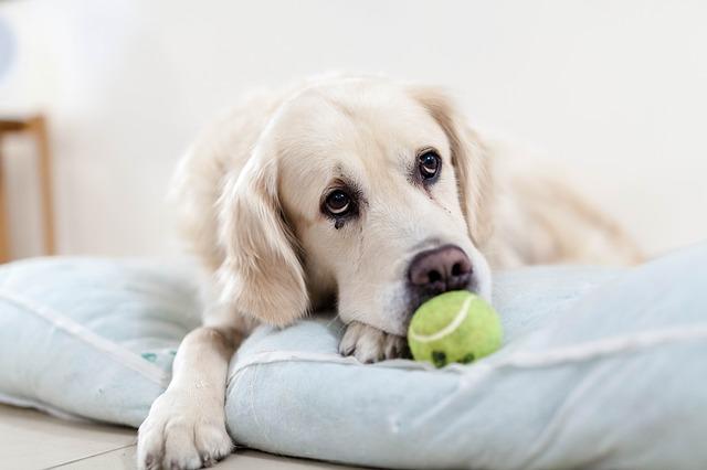 las pelotas de tenis son malas para los perros