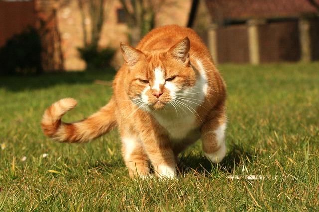 lesiones en la cola del gato más comunes