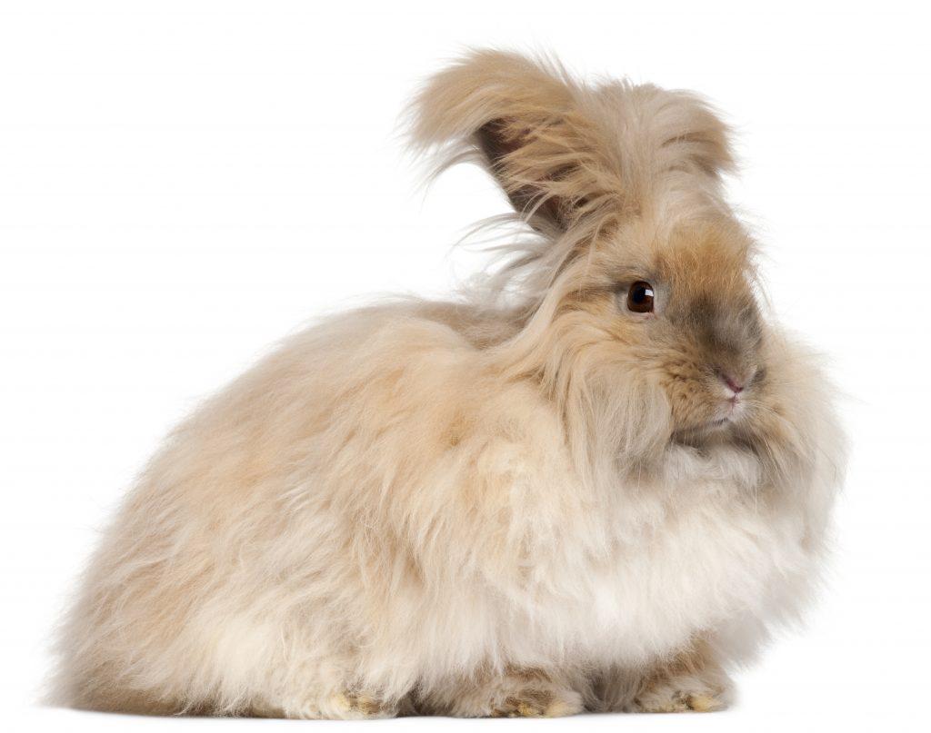 los principales cuidados del conejo del Angora