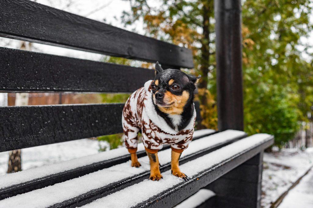 mi chihuahua tiembla porque tiene frio