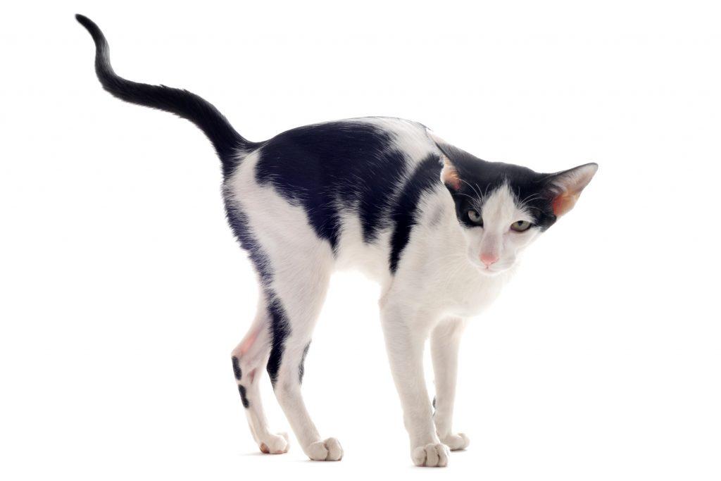 motivos del marcaje con orina en gatos