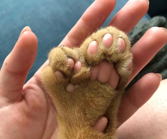 polidactilia en gatos es una mutación genética