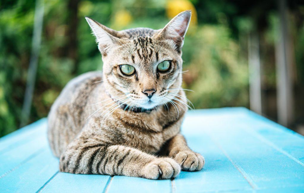se puede evitar el marcaje con orina en gatos