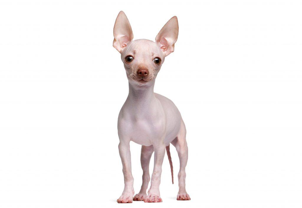 asi es el chihuahua sin pelo o hairless chihuahua