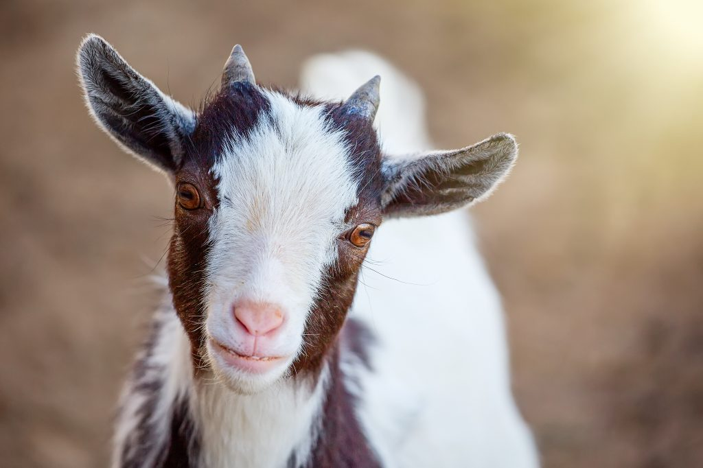 cuidados de la cabra enana