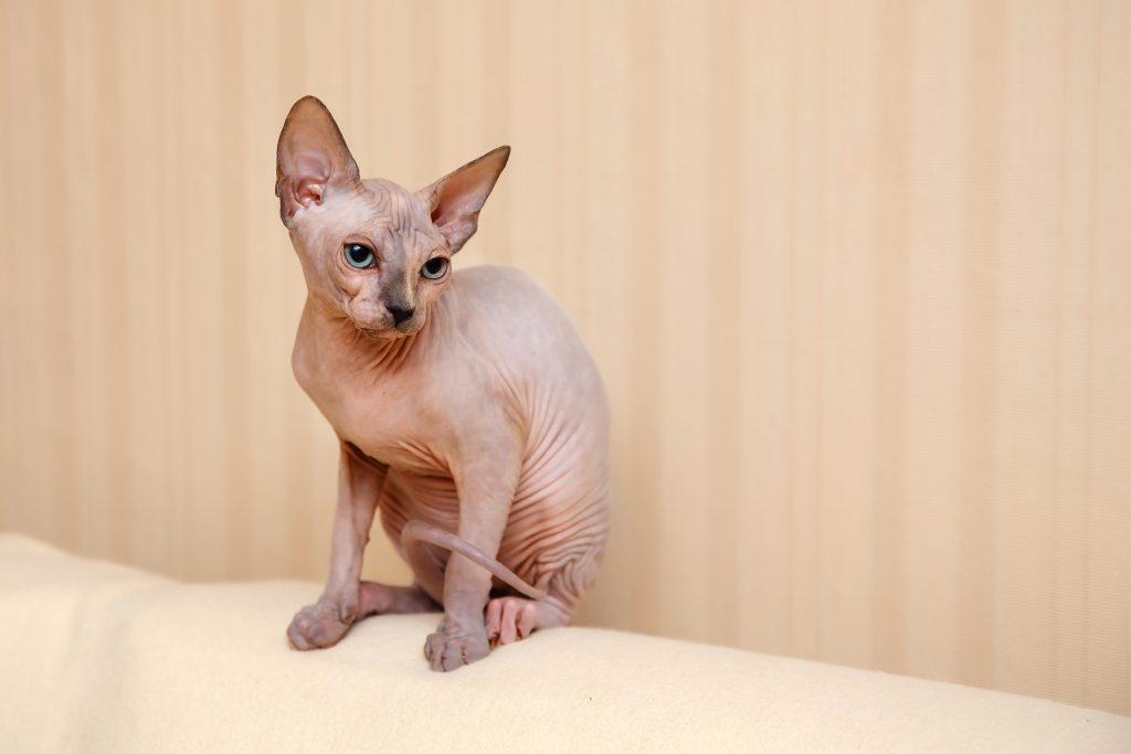 el gato sphynx tiene una fina capa de pelusa en su cuerpo