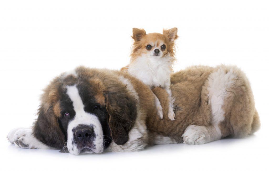 enfermedades en los perros grandes