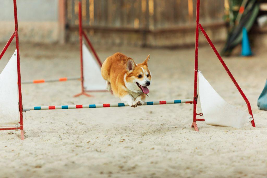 incrementar la dificultad de golpe es uno de los errores al adiestrar a un perro