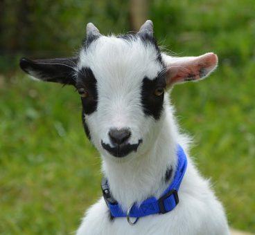 la cabra enana como mascota