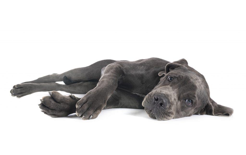 la displasia de cadera es una de las enfermedades más comunes de los perros grandes