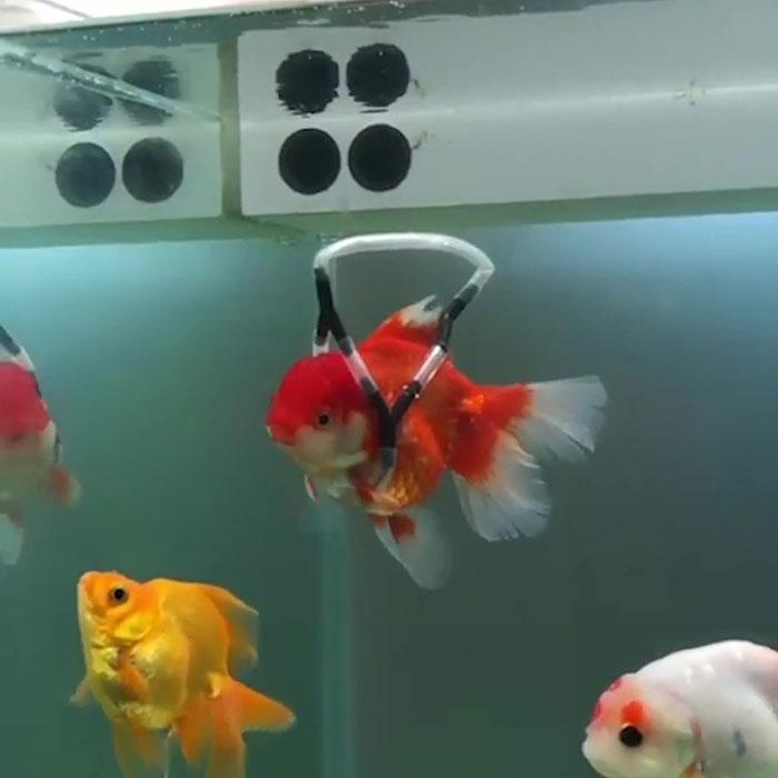 pez con flotador para su vejiga natatoria