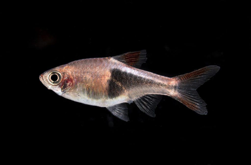 problemas en la vejiga natatoria de los peces